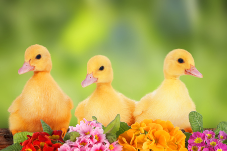 hatchling: easter ducklings with flowers