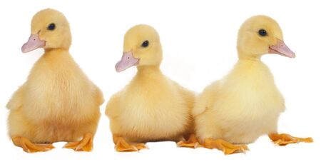 easter ducklings in a row isolated Imagens