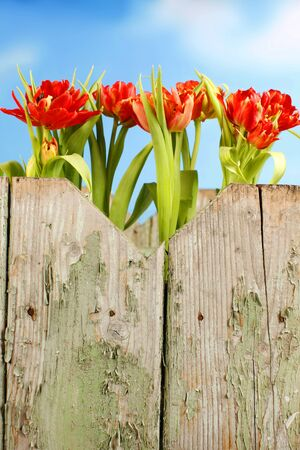 red tulips: Red tulips in a row in front of blue background Stock Photo