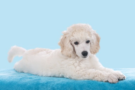 blue blanket: Cute white poodle lying on a blue blanket looking at camera Stock Photo