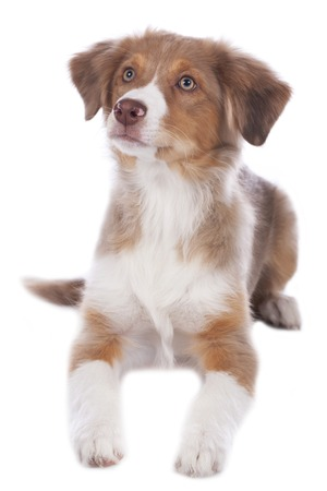 australian shepherd: Australian shepherd puppy lying isolated Stock Photo