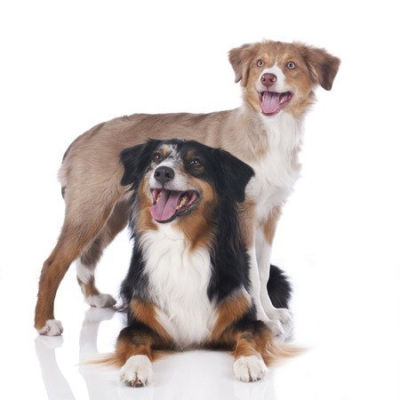 australian shepherd: Two australian shepherd dogs isolated