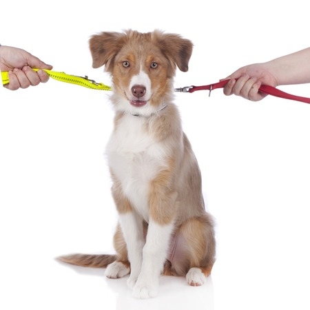 australian shepherd: Australian shepherd puppy on a leash Stock Photo