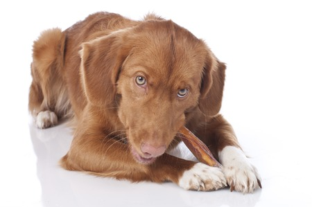 chewing: Retriever is chewing a chew toy isolated Stock Photo