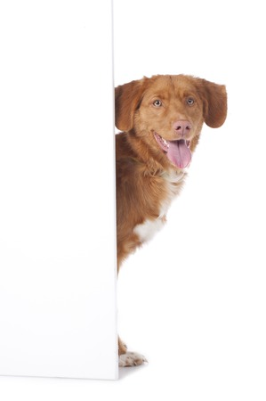 looking in corner: Retriever is looking round the corner of an empty board