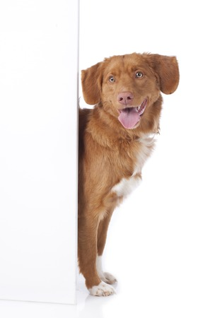 empty board: Retriever is looking round the corner of an empty board