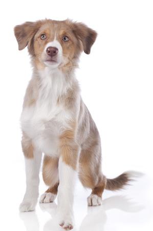 Young australian shepherd dog isolated
