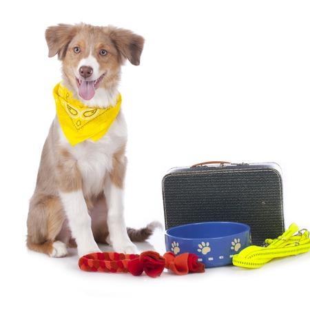 australian shepherd: Australian shepherd puppy with travel kit isolated