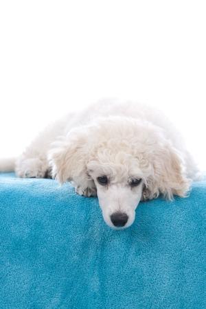 white poodle: Sad white poodle puppy on blanket