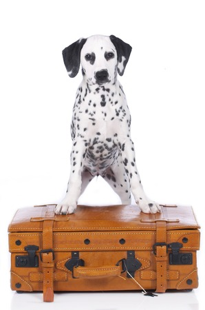 suit case: Cute dalmatian puppy standing on a suit case isolated on white