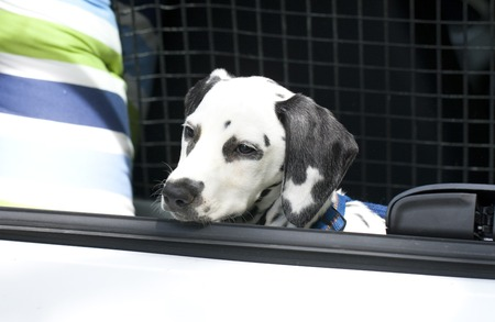 dalmatian: Young dalmatian sitting in car boot outdoor