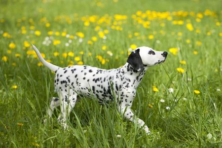 dalmatian: Dalmatian puppy in the meadow dandelion Stock Photo