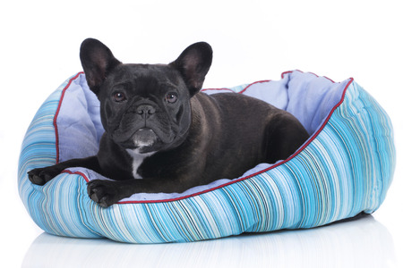 bed: Cute french bulldog in a soft bed isolated
