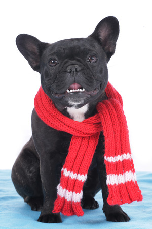 scarf: French bulldog with scarf sitting on a blue blanket