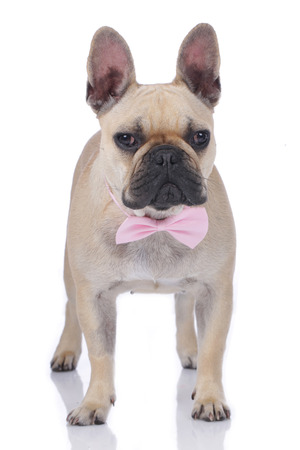 neck tie: French bulldog with neck tie isolated Stock Photo