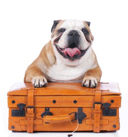 English bulldog sitting on travel suitcase isolated