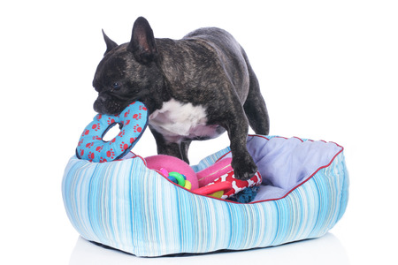 French bulldog with dog bed and lots of toys isolated