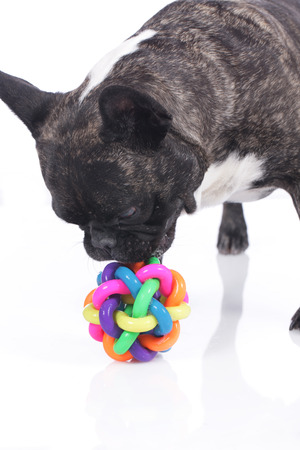 sniff dog: French bulldog looking at dog toy isolated