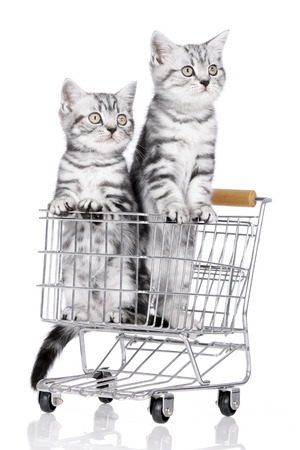 british shorthair: British shorthair kitten in shopping baket isolated
