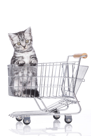 British shorthair kitten in shopping baket isolated photo