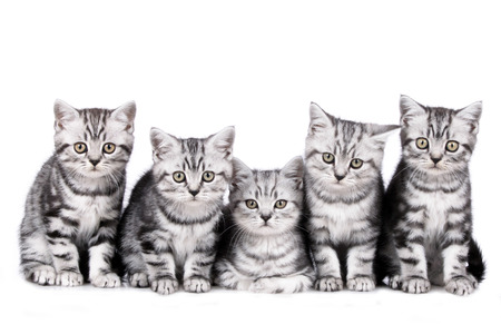 british shorthair: Group of five british shorthair kitten