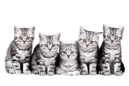 koty: Grupa pięciu Kot brytyjski krótkowłosy kitten