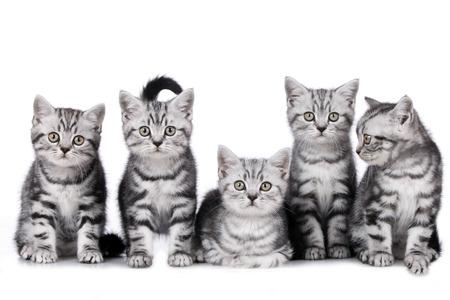5 つのブリティッシュショートヘア子猫のグループ 写真素材