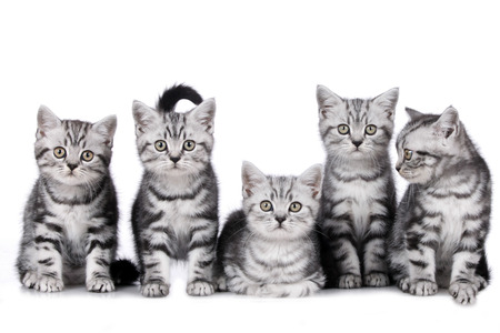 Group of five british shorthair kitten