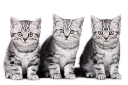 Three british shorthair kitten side by side isolated on white