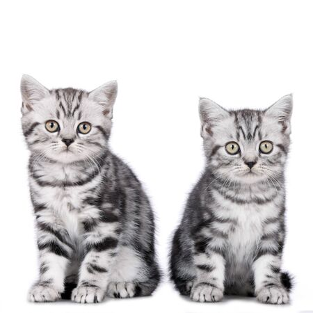 british shorthair: Two british shorthair kitten sitting on white background