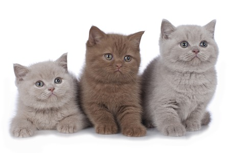 Three british shorthair kitten side by side isolated