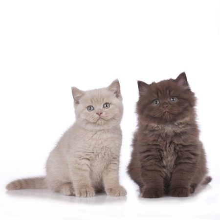 british shorthair: Two british shorthair and highland kitten isolated Stock Photo