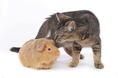 sniff: Cat with guinea pig isolated Stock Photo
