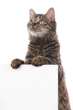 white wall: Cat behind a white wall isolated