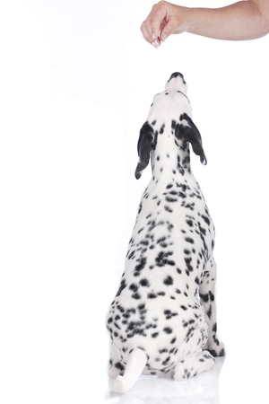 dalmatian: Young dalmatian from the back isolated
