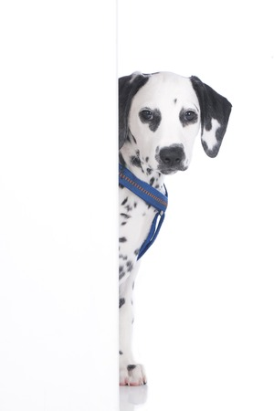 looking in corner: Young dalmatian looking round the corner isolated Stock Photo