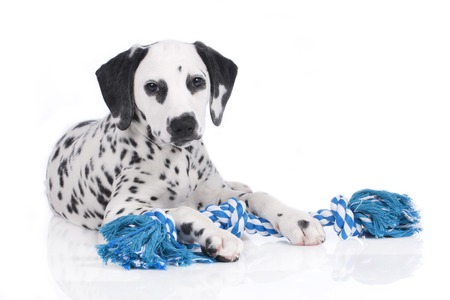 chew: Cute dalmatian with chew toy isolated Stock Photo