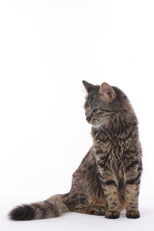 Cute tabby cat sitting on white background isolated