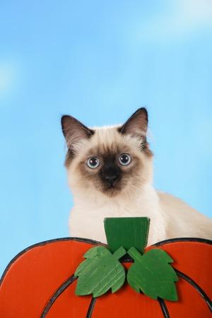 blue siamese cat: Cute siamese cat with pumpkin in front of blue sky