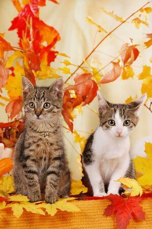 Two cute kitten sitting in autumn decoration indoor Imagens