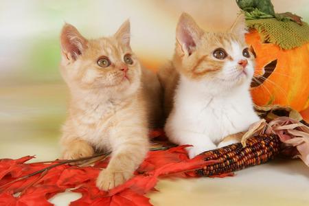 Two cute british shorthair kitten in autumn decoration indoor