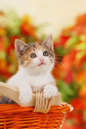 One cute kitten sitting in a basket in front of autumn leaves Imagens