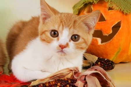 british shorthair: Two cute british shorthair kitten in autumn decoration indoor