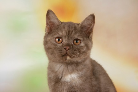 british shorthair: Cute british shorthair kitten looking at camera