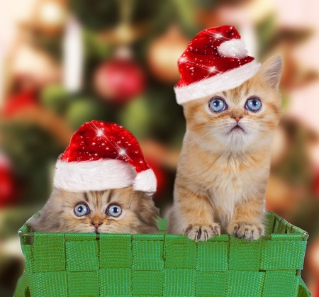animals and pets: Two persian kitten with santa hats in front of a christmas tree