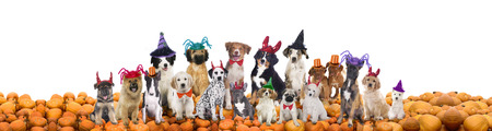 costumes: Group of different dogs with halloween hats