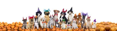 perros graciosos: Grupo de los diferentes perros con sombreros de halloween