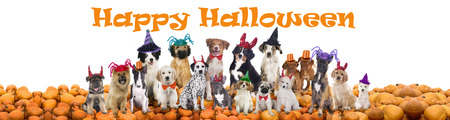 dog in costume: Happy halloween dogs isolated