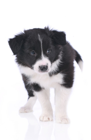 border collie: Cute border collie puppy standing on white background isolated