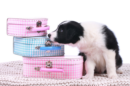 border collie puppy: Cute border collie puppy with small suitcases on a white blanket